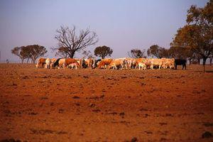 Ngân hàng Westpac của Úc cho nông dân bị hạn hán vay hơn 74 triệu USD