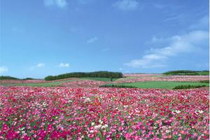 Ngắm 'Nữ hoàng của những loài hoa' ở Châu Âu