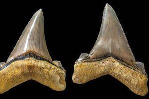 Phát hiện răng cá mập 25 triệu năm tuổi