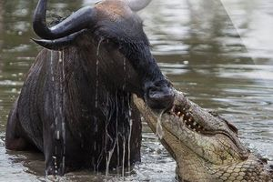 Pha săn mồi hỏng ăn đến khó tin của cá sấu