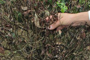 Nhiều diện tích chè ở Con Cuông bị thối rễ, nấm lá