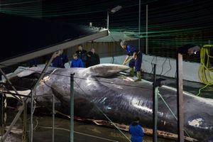 Trùm săn cá voi Iceland: 'Việc này chẳng có gì sai trái cả'