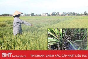 252 ha lúa hè thu ở Can Lộc bị nhiễm bệnh khô vằn