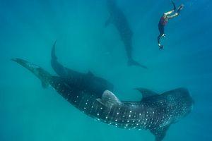 Lặn cùng cá mập voi ở Tây Ấn Độ Dương