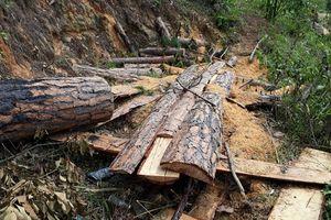 Mất 1.100ha rừng sau khi giao cho các dự án