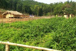Hướng mới trong phát triển kinh tế rừng ở vùng biên Quan Sơn