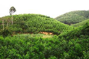 3.000ha rừng trồng đạt chứng chỉ FSC