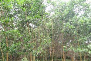 Hà Giang: Người dân xã Phương Độ thu nhập cao từ trồng rừng kinh tế