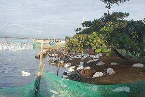 Thừa Thiên-Huế: Gần 300 con vịt chết không rõ nguyên nhân