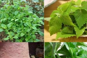 Kỹ thuật trồng cây rau kinh giới điều trị bệnh thông thường tại nhà