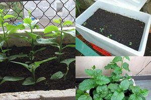 Cách trồng rau mồng tơi cực đơn giản tại nhà, chẳng cần tốn công chăm sóc cây vẫn 'lớn nhanh như thổi'