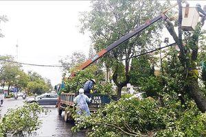 Ảnh hưởng bão số 4, nhiều cây xanh cổ thụ ở Đà Lạt bị ngã đổ