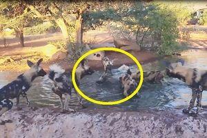 Thế giới động vật: Lợn rừng chết mất xác vì đàn chó hoang hung hãn