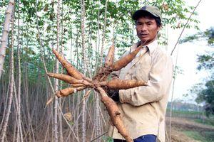 Kim ngạch xuất khẩu sắn của Việt Nam đứng thứ 2 thế giới
