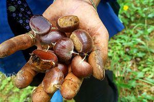 Lạ mà hay: Trồng cây ra quả toàn gai, lãi vài trăm triệu/năm