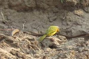 Sốc cảnh chú chim nhỏ bẻ 'làm thịt' rắn độc
