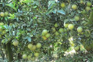 ĐBSCL: Giá cam giảm mạnh, nhà vườn thua lỗ