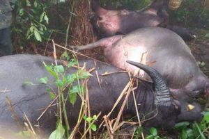 Điện Biên: Xót xa 4 con trâu mộng bị sét đánh chết
