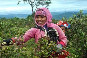 Người dân miền núi kiếm tiền triệu từ việc hái sim rừng