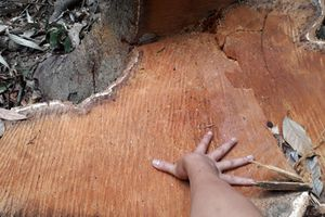 Xử phạt 17 đối tượng hơn 1,3 tỷ đồng vì vận chuyển, khai thác gỗ trái phép