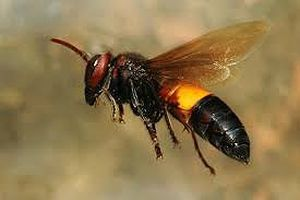Nhận diện ong vò vẽ sát thủ như thế nào?