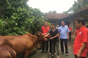 Trao tặng bò giống cho các hộ gia đình có hoàn cảnh khó khăn ở Phú Thọ