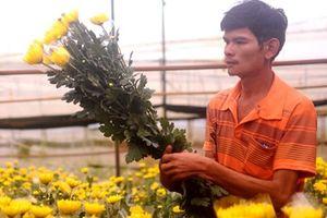 Hoa cúc Đà Lạt tăng giá chóng mặt dịp Rằm tháng 7