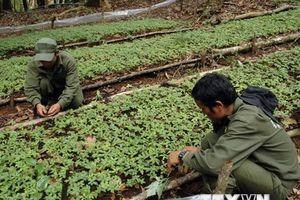 Trồng thử nghiệm cây sâm Ngọc Linh tại Khu bảo tồn thiên nhiên Hòn Bà