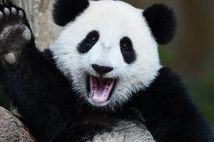 Trung Quốc: Loài gấu trúc khổng lồ thoát khỏi nguy cơ tuyệt chủng