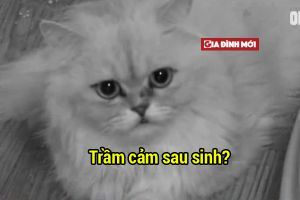 Mèo mẹ bị trầm cảm sau sinh vì chứng kiến chủ nhân mang con đi