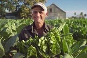 Cuba hướng tới việc gia tăng sản lượng cigar