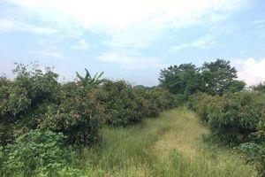 Vườn nhãn 3.500m2 bị kẻ lạ san phẳng: Doanh nghiệp làm?