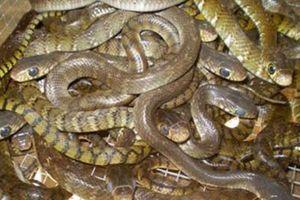 Thu nhập trên 3 tỷ đồng/năm từ nuôi rắn ráo trâu