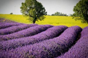 Đến Provence ngắm hoa oải hương