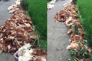 Hải Phòng: Hàng nghìn con gà bị chết do sự cố về điện