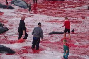 Dồn 200 cá voi vào một góc rồi đâm chém chết sạch: Đảo Faroe nói gì?