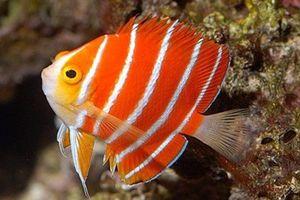 Cá thiên thần Peppermint hơn nửa tỷ đồng hút hồn dân chơi Việt