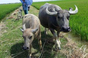 Trâu bò phải đóng phí cỏ: Quảng Bình họp gấp trả lại tiền