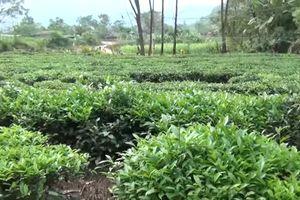 Văn Chấn: Hơn 4.100 ha chè cho thu hoạch