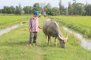 Quảng Bình yêu cầu chấm dứt thu phí đồng cỏ dành cho trâu bò