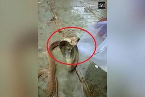 Clip: Kiệt sức vì hạn hán, rắn hổ mang kịch độc mò vào làng xin nước