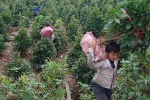 Người trồng mai vàng Bình Chánh rục rịch vào mùa đón tết Kỷ Hợi