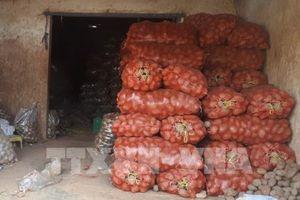 Tiếp tục phát hiện khoai tây Trung Quốc trộn đất đỏ, mạo danh khoai Đà Lạt