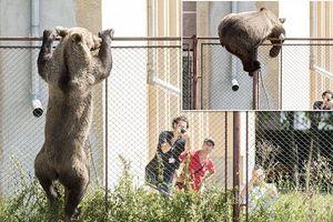 Gấu làm loạn khu dân cư buộc thợ săn phải nổ súng bắn chết