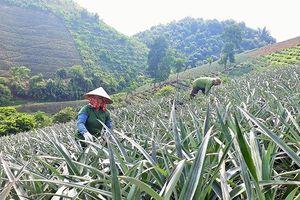 'Thủ phủ dứa' Bản Lầu ở Lào Cai hồi sinh sau ô nhiễm nghiêm trọng