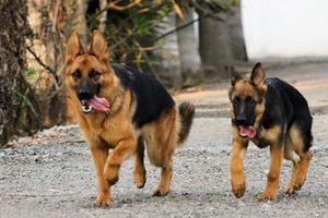 Chó nhà cắn chết chủ ở Hà Nội