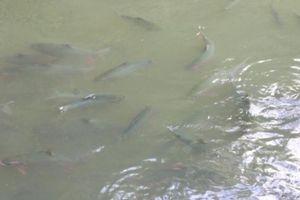 Kỳ thú suối cá thần ở Sơn La: Cá thích ăn mỳ tôm, bánh mì