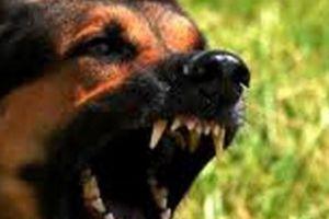 Can ngăn hai con chó béc giê cắn nhau, chủ nhà bị cắn đến chết