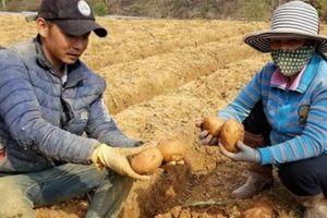 Biến khoai tây Trung Quốc thành khoai Đà Lạt: Không có luật để xử?