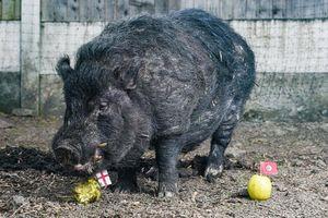 Chú lợn tiên tri dự đoán sai kết quả bán kết World Cup phải đi trốn vì bị dọa giết
